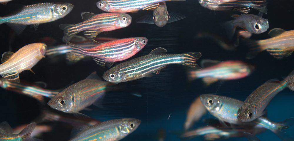 Transparent Zebrafish Show Breast Cancer Cells Invading Bloodstream in Study Using Video