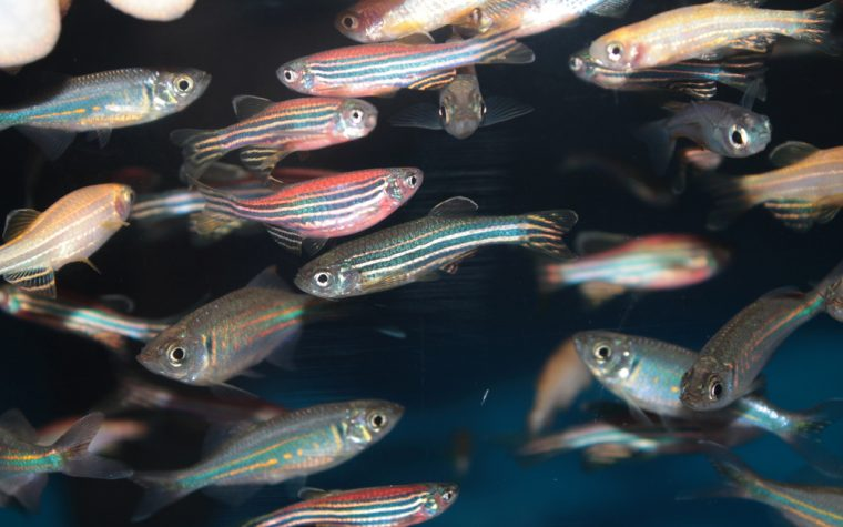 zebrafish cancer study