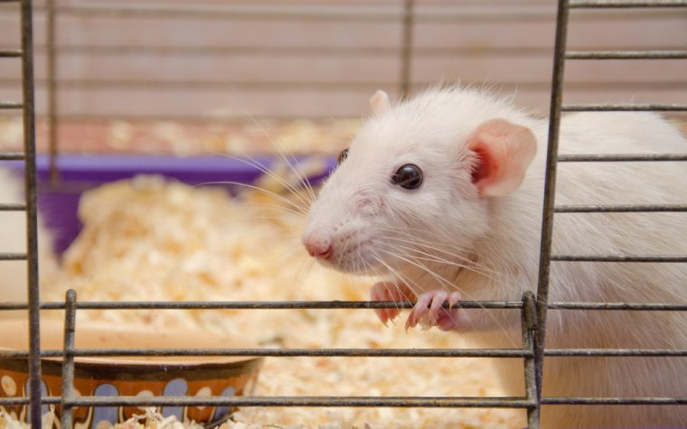 Breast-cancer mouse model