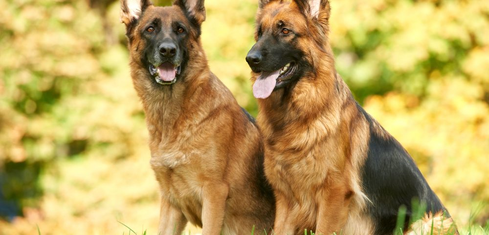 German Shepherds Can Detect Breast Cancer on Clothing with 100% Accuracy, French Team Says